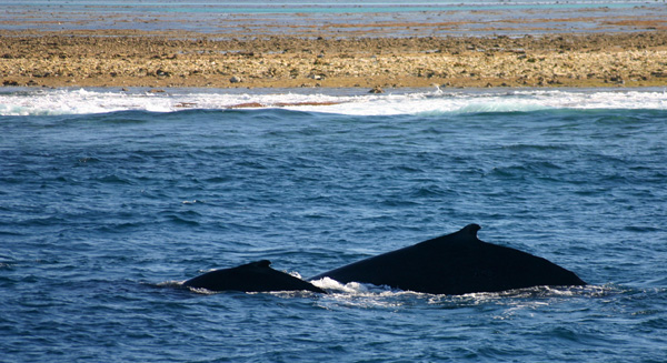 Lady Musgrave Island - baleines