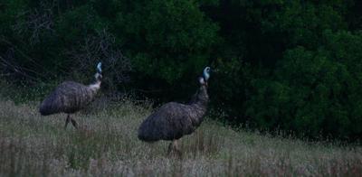 Coorong National Park - Emeux