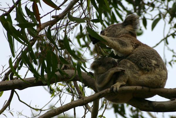koalas - mère et son petit