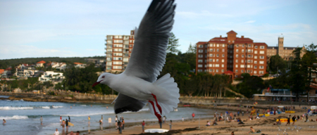 mouette a manly beach