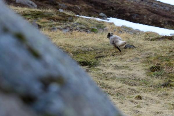 Le renard polaire prend la fuite.