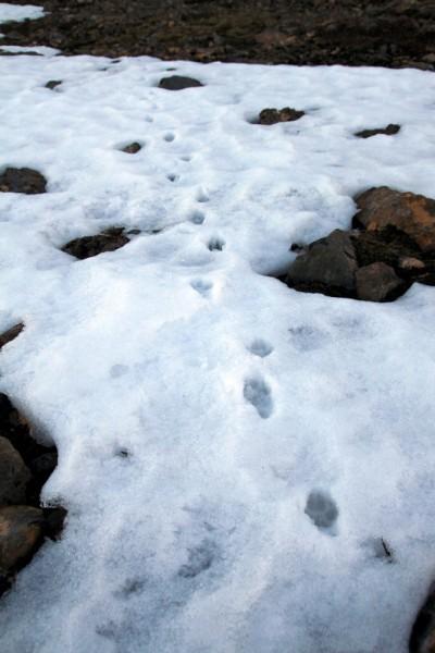 Traces d'un renard polaire dans la neige.