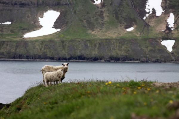 Des moutons qui se baladent au bord d'un fjord.