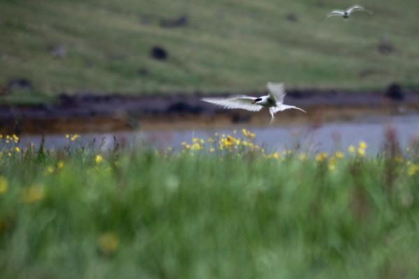 Une sterne arctique rejoint son nid