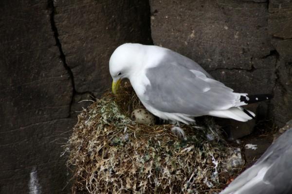 Une mouette sur son nid